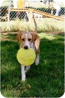 German Wirehaired Pointer/Labrador Retriever Mix Puppy for adoption in Stillwater, Oklahoma - Amber