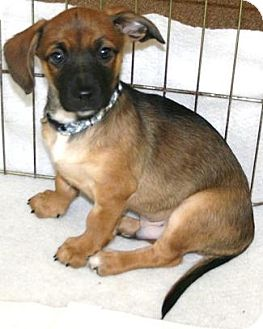 Dachshund/Beagle Mix Puppy for adoption in House Springs, Missouri - Moose