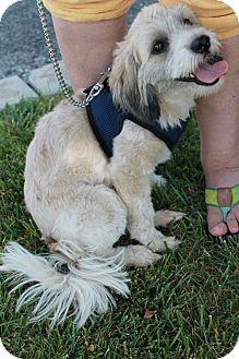 Schnauzer (Miniature)/Poodle (Miniature) Mix Dog for adoption in San Dimas, California - Penelope