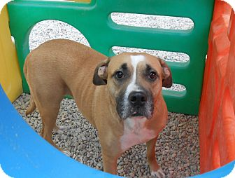 Boxer Mix Dog for adoption in Hainesville, Illinois - Holly