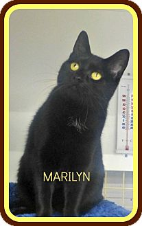 Domestic Shorthair Cat for adoption in Spring Brook, New York - Marilyn