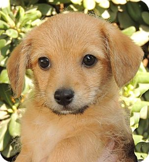 Jack Russell Terrier/Dachshund Mix Puppy for adoption in La Habra Heights, California - Leonard