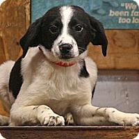 Adopt A Pet :: Traycee - Spring City, PA