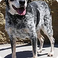 Adopt A Pet :: Barkley - Gilbert, AZ