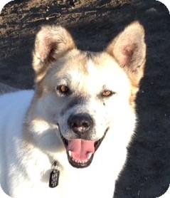German Shepherd Dog/Husky Mix Dog for adoption in Sacramento, California - Davey