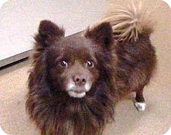 Pomeranian Dog for adoption in Las Vegas, Nevada - Kody