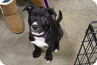 Labrador Retriever/Pit Bull Terrier Mix Puppy for adoption in Livonia, Michigan - Spark Plug