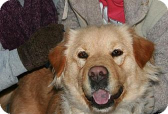 Golden Retriever Mix Dog for adoption in Arlington Heights, Illinois - Angel