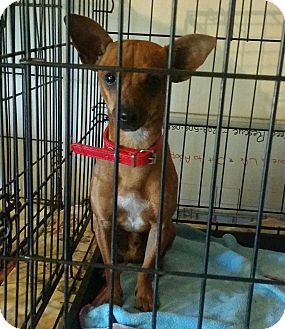 Miniature Pinscher/Chihuahua Mix Dog for adoption in Gustine, California - JACK