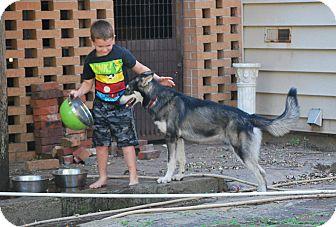 Alaskan Malamute/German Shepherd Dog Mix Puppy for adoption in Cleveland, Oklahoma - Lady/Tikani