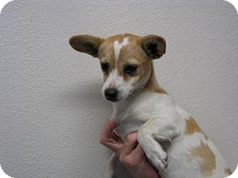 Chihuahua Dog for adoption in Orland, California - Digby