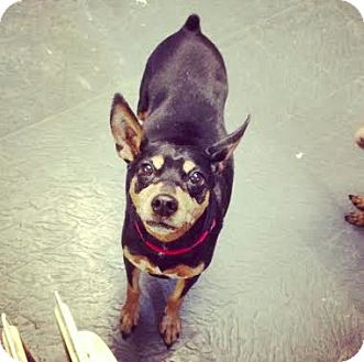 Manchester Terrier Dog for adoption in Manhattan, New York - Chi Chi