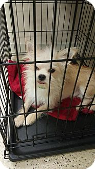 Terrier (Unknown Type, Medium)/Chihuahua Mix Dog for adoption in Mary Esther, Florida - Rocky