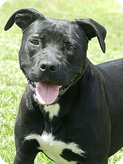 Pit Bull Terrier Dog for adoption in Dover, Tennessee - Luna