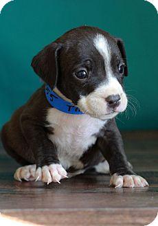 Labrador Retriever Mix Puppy for adoption in Waldorf, Maryland - Trevor