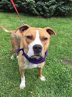Terrier (Unknown Type, Medium)/Boxer Mix Dog for adoption in Detroit, Michigan - Freeway-Pending
