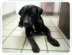 Labrador Retriever Mix Dog for adoption in Chimayo, New Mexico - Sophie