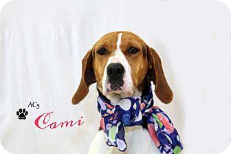 Treeing Walker Coonhound Mix Dog for adoption in Adrian, Michigan - Cami