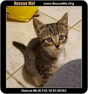 Domestic Shorthair Kitten for adoption in Waldorf, Maryland - Delilah