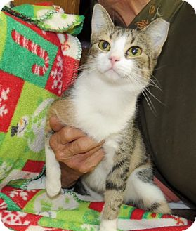 Calico Cat for adoption in Marble Falls, Texas - Willow