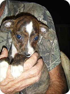 Staffordshire Bull Terrier/Dachshund Mix Puppy for adoption in Mansfield, Texas - Milo