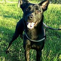 Labrador Retriever/Border Collie Mix Dog for adoption in orange, California - Pepin