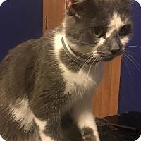Adopt A Pet :: Kitty Boo - Ashville, OH