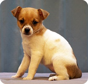 Chihuahua/Jack Russell Terrier Mix Puppy for adoption in Maynardville, Tennessee - Vixen