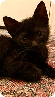 Domestic Shorthair Kitten for adoption in Los Angeles, California - Raisin