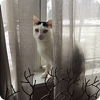 American Shorthair Cat for adoption in New York, New York - Baby