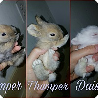 Adopt A Pet :: Thumper - Baltimore, MD