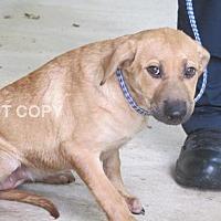 Adopt A Pet :: Faedra - Rocky Mount, NC