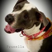 Adopt A Pet :: Prunella - Twinsburg, OH