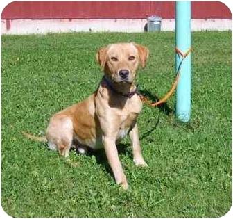 Labrador Retriever Mix Dog for adoption in Austin, Minnesota - Stoney