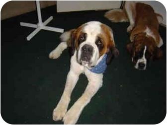 St. Bernard Dog for adoption in Flint, Michigan - Nemo