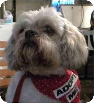 Lhasa Apso Dog for adoption in PRINCETON, New Jersey - Beardsley