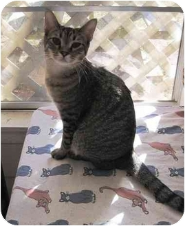 Domestic Shorthair Kitten for adoption in Houston, Texas - Sammi Sue