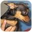 Photo 3 - Miniature Pinscher/Chihuahua Mix Puppy for adoption in Poway, California - KODA