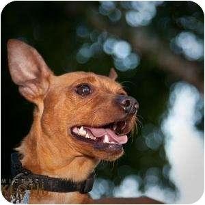 Miniature Pinscher Dog for adoption in West Richland, Washington - Rufus