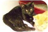 Domestic Shorthair Kitten for adoption in Summerville, South Carolina - Eli