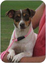 Rat Terrier/Corgi Mix Dog for adoption in Greenville, Rhode Island - Donut