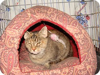 Domestic Shorthair Cat for adoption in Spotsylvania, Virginia - Chloe