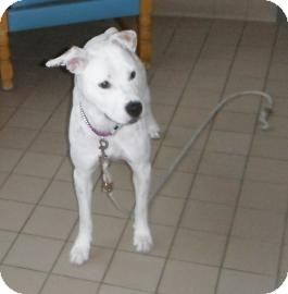 American Pit Bull Terrier Mix Dog for adoption in Jackson, Michigan - Paprika