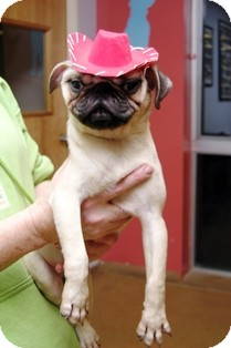 Pug Puppy for adoption in Norwalk, Connecticut - Brody