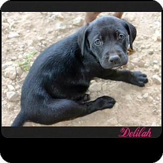 Mountain Cur Mix Puppy for adoption in Garden City, Michigan - Delilah