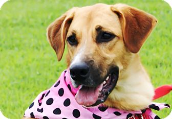 Labrador Retriever/Shepherd (Unknown Type) Mix Dog for adoption in Princeton, Kentucky - Jill