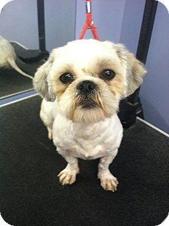 Shih Tzu Mix Dog for adoption in Davison, Michigan - Mollie