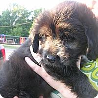 Adopt A Pet :: Della - Glastonbury, CT