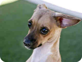 Chihuahua/Terrier (Unknown Type, Small) Mix Puppy for adoption in Agoura, California - Oso