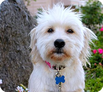 Wheaten Terrier Mix Dog for adoption in Los Angeles, California - Blanche
